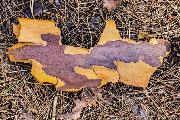 Écorce de pin au sol sur aiguilles sèches.