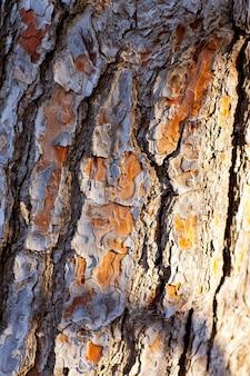 Écorce de pin tronc texture
