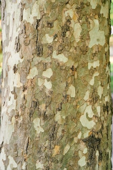 Écorce tachetée du plan rapproché d'arbre de sycomore