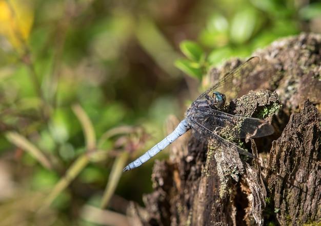 Écumoire carène dragonfly orthetrum coerulescens homme assis sur du bois mort