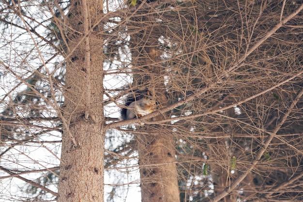 Écureuil sur un arbre dans le parc d'hiver