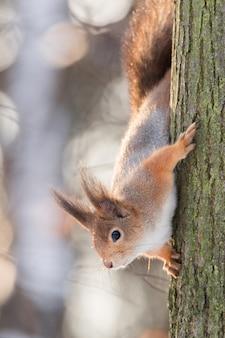 Écureuil sur l'arbre en hiver