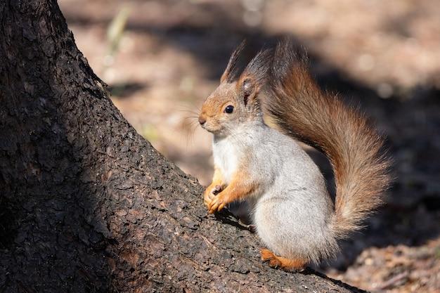 Écureuil sur un arbre printemps