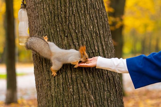 Un écureuil assis sur un tronc d'arbre prend les noix de la main d'une personne dans un parc d'automne