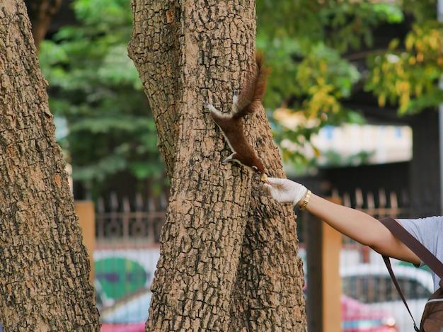 L'écureuil brun mange la nourriture des mains du peuple.