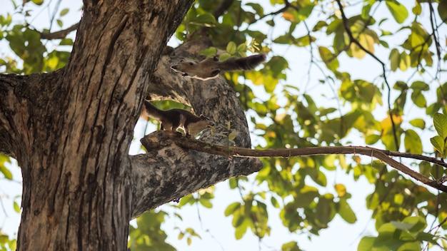 Écureuil brun se lever et sauter sur un arbre