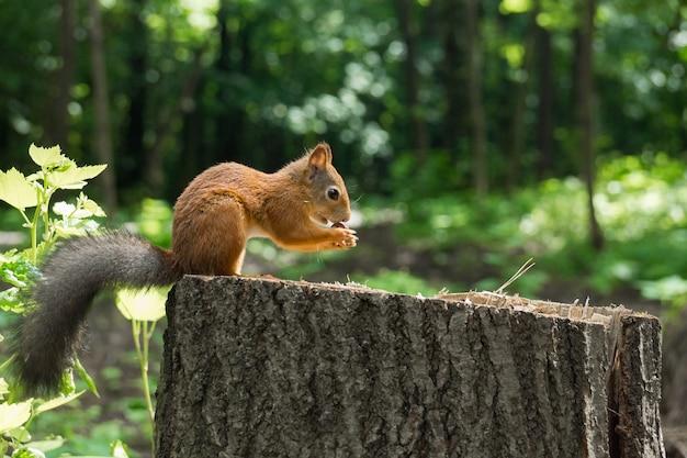 Écureuil sur un chanvre avec une noix