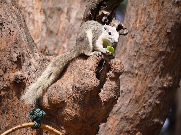 Écureuil de couleur grise avec vue rapprochée