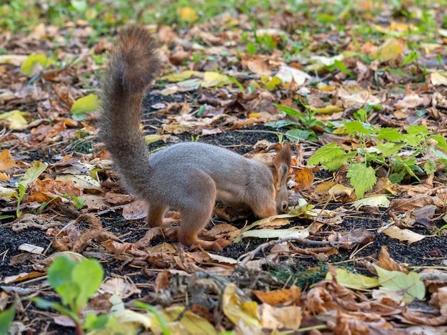 Un écureuil creuse à travers le feuillage d'automne dans le parc à l'automne.