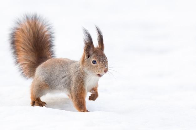 Écureuil dans la neige