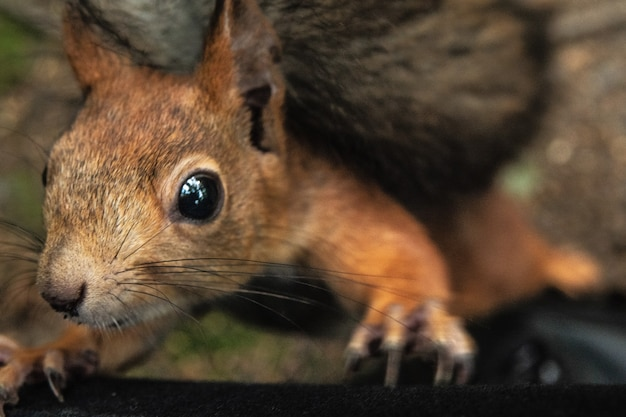 Écureuil demande une noix