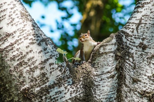 Un écureuil gris curieux posé sur un arbre