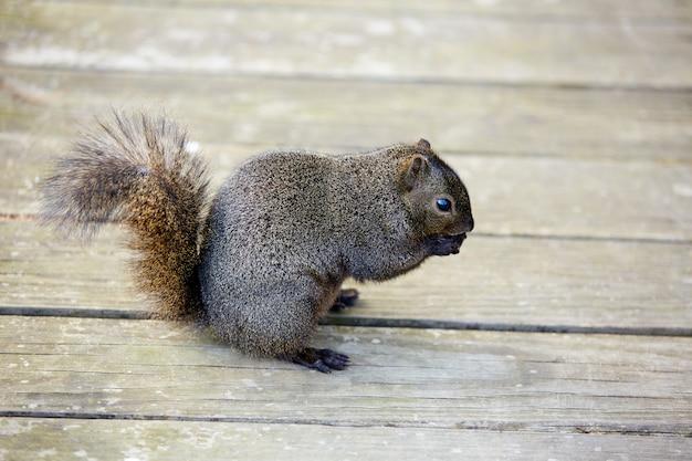 Écureuil gris dans un parc du texas à houston
