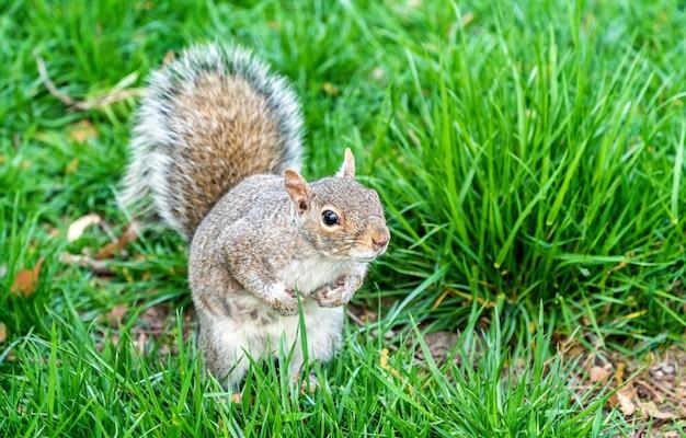 Écureuil gris de l'est dans battery park