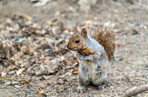 L'écureuil gris de l'est, sciurus carolinensis à montréal - québec, canada