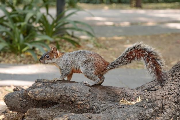 Écureuil gris moelleux dans parc mexicain chapultepec, mexico