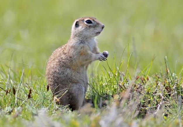 Écureuil groun moucheté