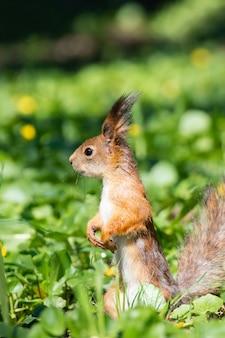 Écureuil sur l'herbe