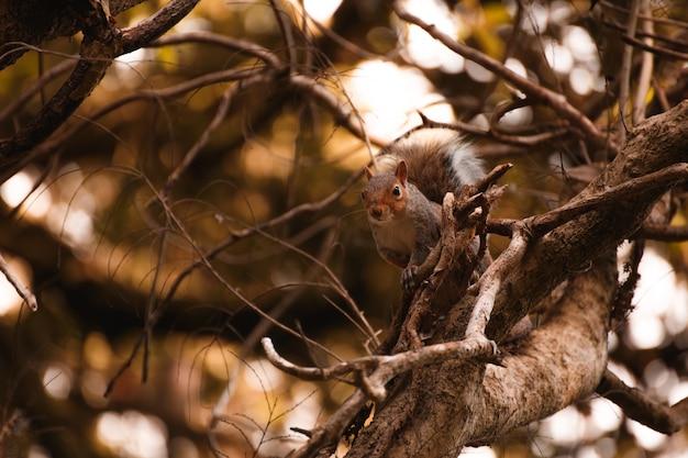 Écureuil irlandais rouge sur un arbre