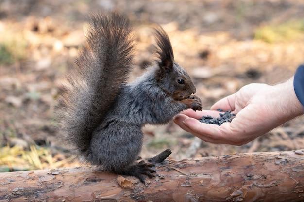L'écureuil mange des graines de la paume d'une personne prendre soin des animaux respect de la nature