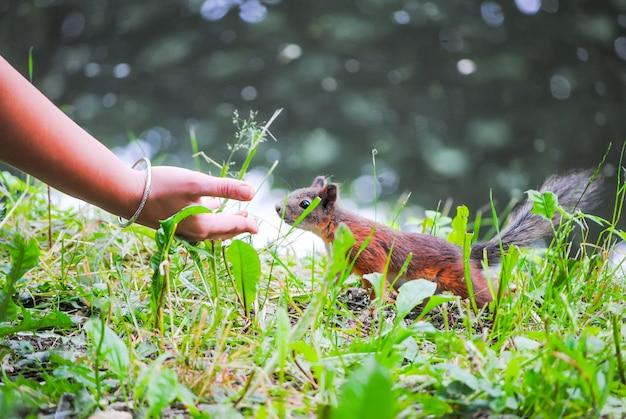 Un écureuil mange des noix des mains de la fille