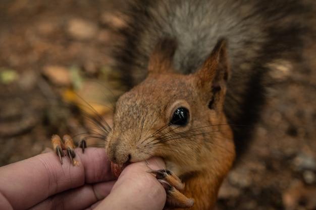 Écureuil mange une noix