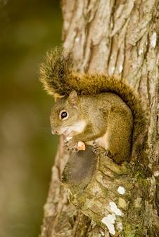 Écureuil mangeant des amandes pendant l'hiver rigoureux