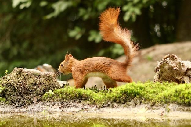 Écureuil mignon à la recherche de nourriture dans une forêt