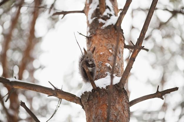 Écureuil mignon regardant la scène d'hiver, parc enneigé ou forêt