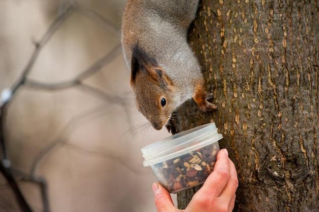 Écureuil moelleux mange de la nourriture à la main en hiver froid