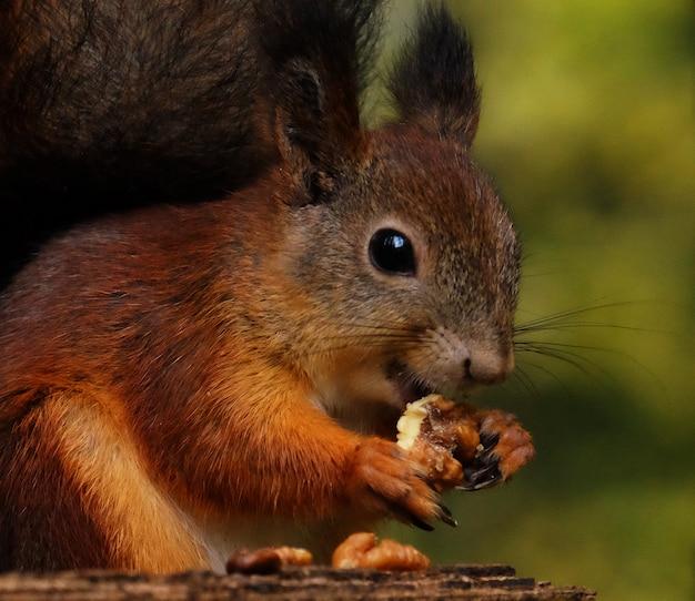 Écureuil moelleux rouge sauvage dans le village mangeant des noix