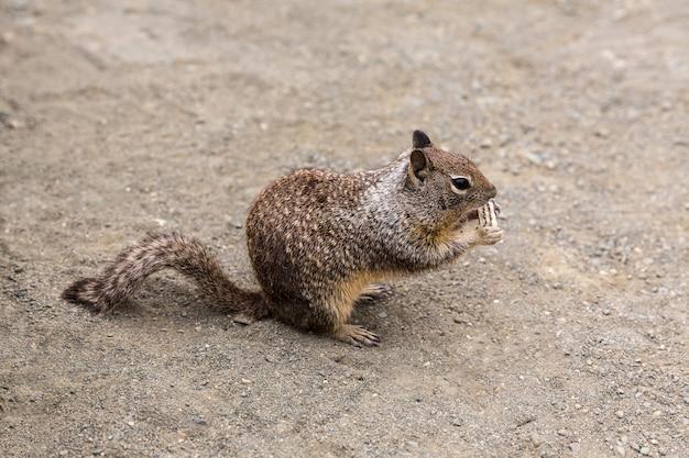 Écureuil moulu de californie en train de manger un biscuit touristique dans pacific hwy