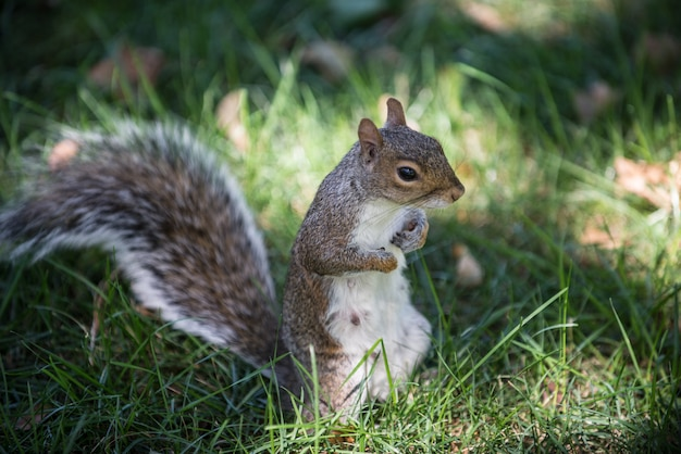 Écureuil sur la nature verte