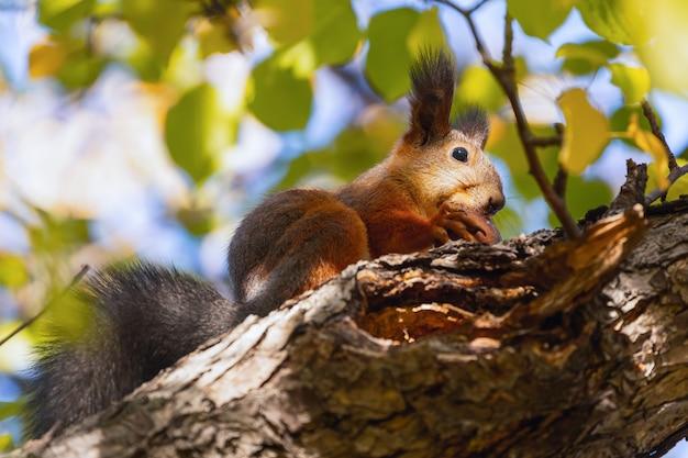 Écureuil orange mangeant une branche de pomme vue de dessous