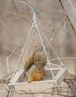 Écureuil renard mignon se balançant dans une boîte d'alimentation