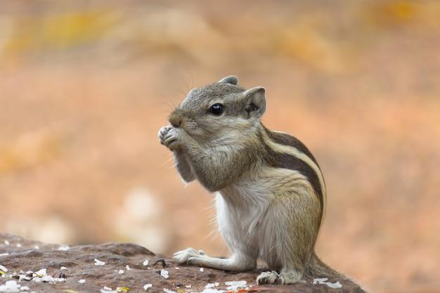 Écureuil ou rongeur ou également connu sous le nom de tamia assis sur le rocher