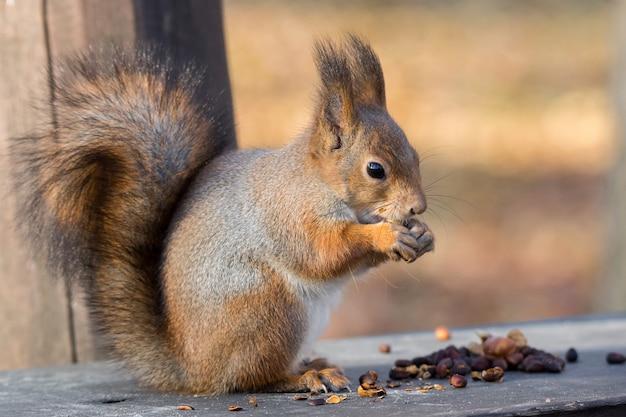 Ecureuil roux sur une branche en automne