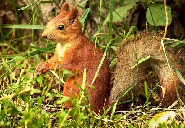 Écureuil Roux Dans L'herbe Photo Premium