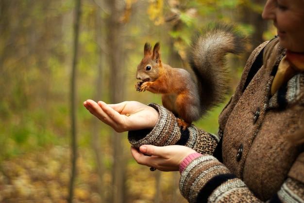 Écureuil roux dans le parc d'automne mangeant des noix avec la main d'une fille, arrière-plan flou