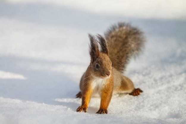 L'écureuil roux est assis sur la neige blanche et regarde à droite