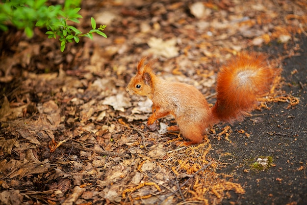Ecureuil roux d'eurasie courant dans le parc