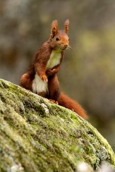 Écureuil roux avec les premières lumières de l'aube un jour de pluie en hiver