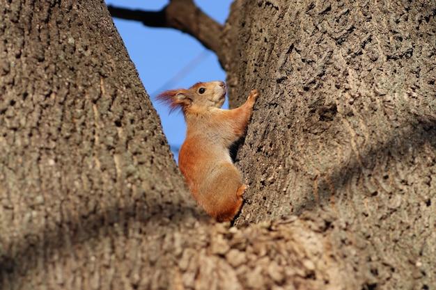 Écureuil roux de printemps sur un arbre