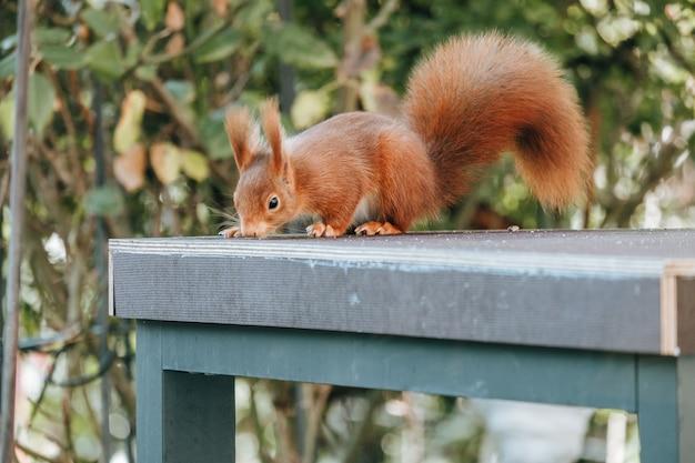 Écureuil roux sur une table bleue à l'extérieur