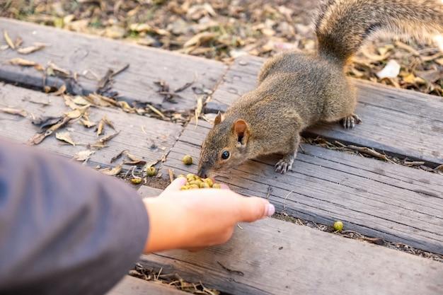 Écureuil sauvage brun mangeant des haricots sur la main de palme
