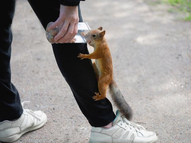 Écureuil se nourrissant de près. un écureuil sauvage a grimpé sur les vêtements.