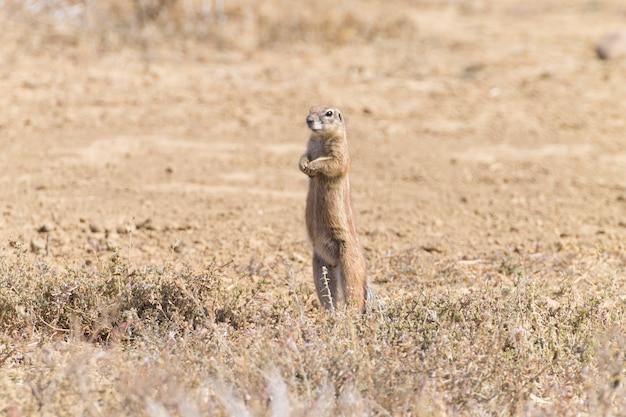 Écureuil terrestre du cap debout. parc national des zèbres de montagne