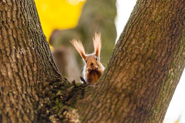 Écureuil sur un tronc d'arbre parmi les feuilles jaunes à l'automne dans un parc de la ville