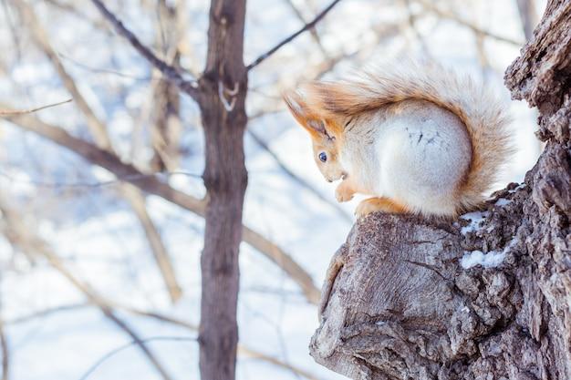 Écureuil vivant assis sur une branche d'arbre dans une forêt en hiver sur fond de ciel