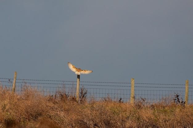 Effraie des clochers atterrissant sur un poteau de clôture à elmley marshes un après-midi d'hiver